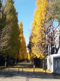 東大駒場キャンパス銀杏並木
